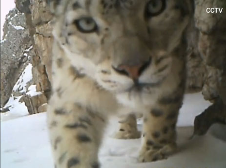 Snow Leopard looks straight into the lens of a supposedly Hidden Camera
