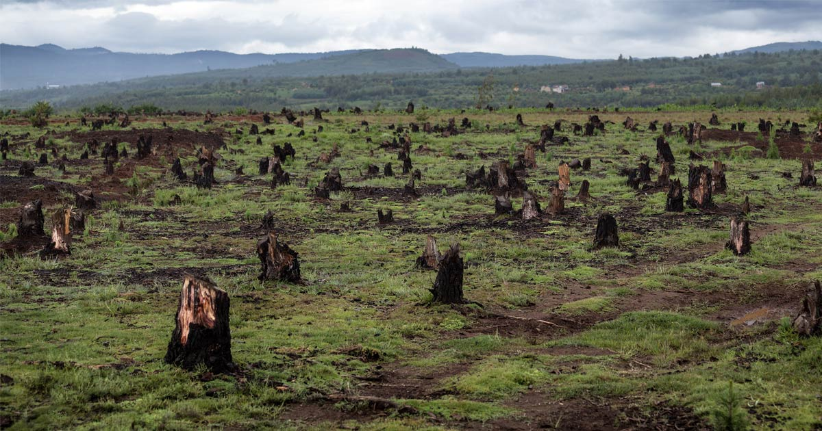 A field of burnt stumps for as far as the eye can see.